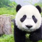 panda1-600x314